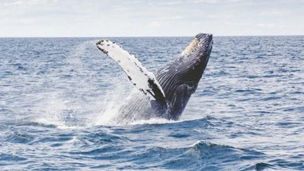 Sopravvissuto a disastro aereo viene inghiottito da una balena: salvo per un colpo di tosse
