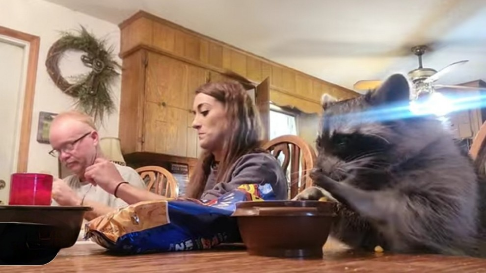 Procione entra in casa e inzuppa i biscotti nel latte: la colazione è amorevole – VIDEO