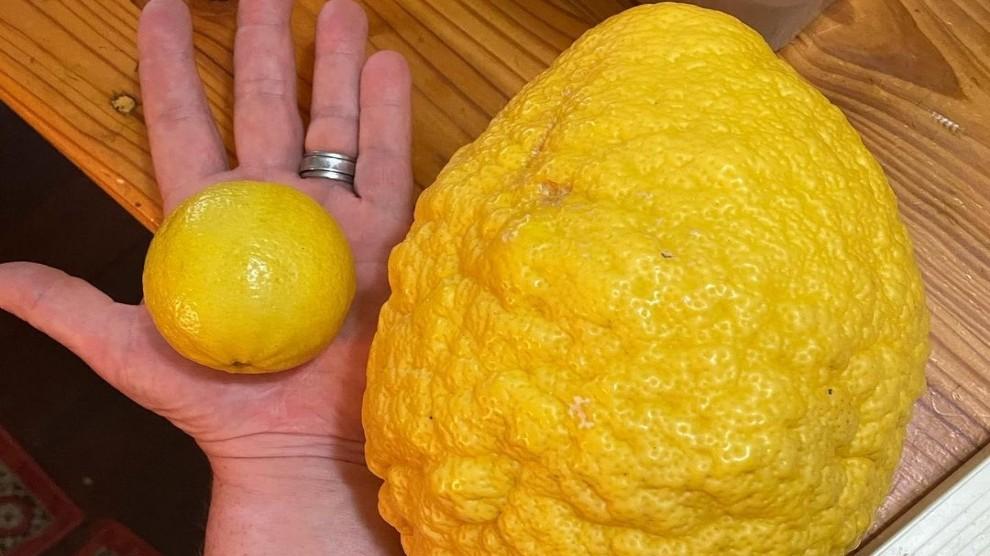 Il limone più grande del mondo: dimensioni record per l'agrume – FOTO
