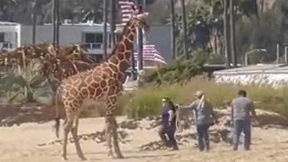 In spiaggia con giraffa al guinzaglio: donna stupisce i bagnanti – VIDEO